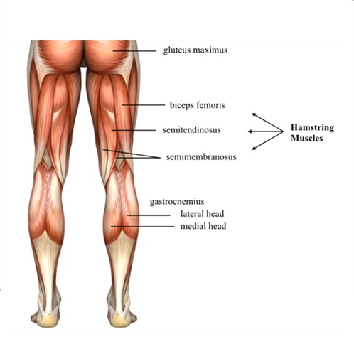 Hamstring group - why training them